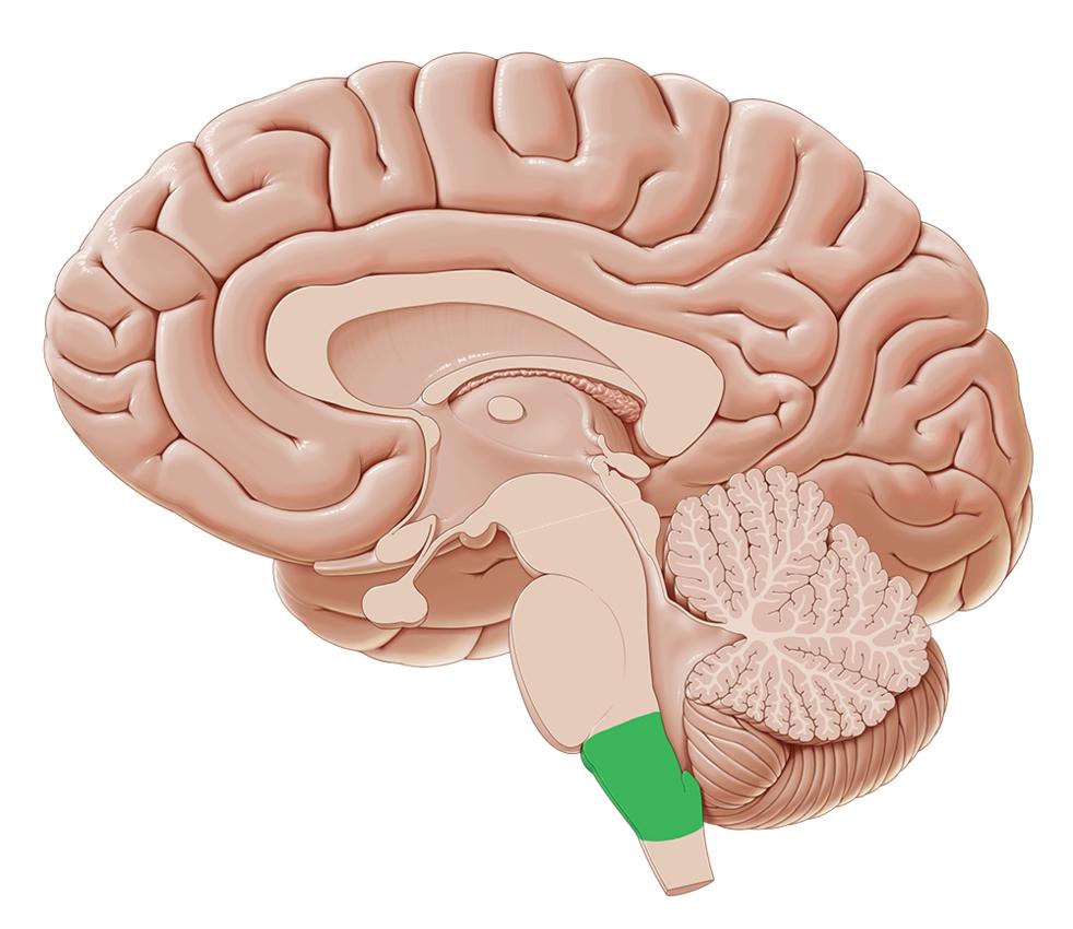 Medulla Oblongata - Anatomy and Pathology | Kenhub