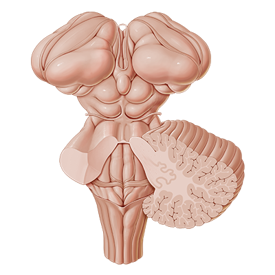 quiz / test: brainstem | kenhub, Human Body