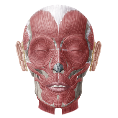 Muscles Of Facial Expression Quiz 113