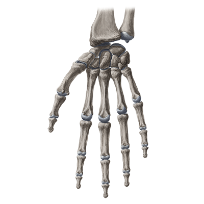 quiz / test: bones of the wrist and hand | kenhub, Human Body