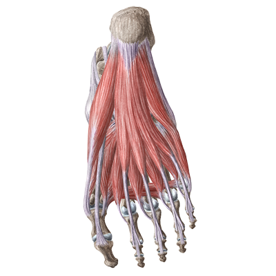 quiz / test: muscles of the foot | kenhub, Human Body