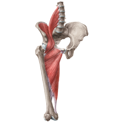 quiz / test: muscles of the hip and thigh | kenhub, Muscles