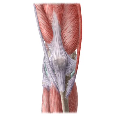quiz / test: muscles of the leg and knee | kenhub, Human Body