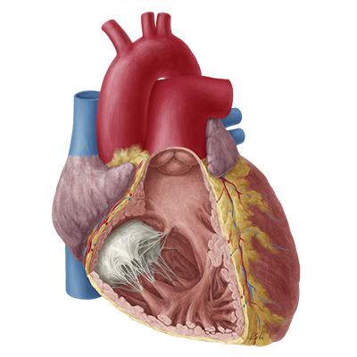 quiz / test: right atrium and ventricle | kenhub, Human Body