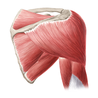 quiz / test: muscles of arm and shoulder | kenhub, Muscles